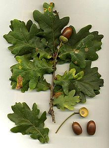 220px-Quercus_robur leaf and seed CC BY SA 3