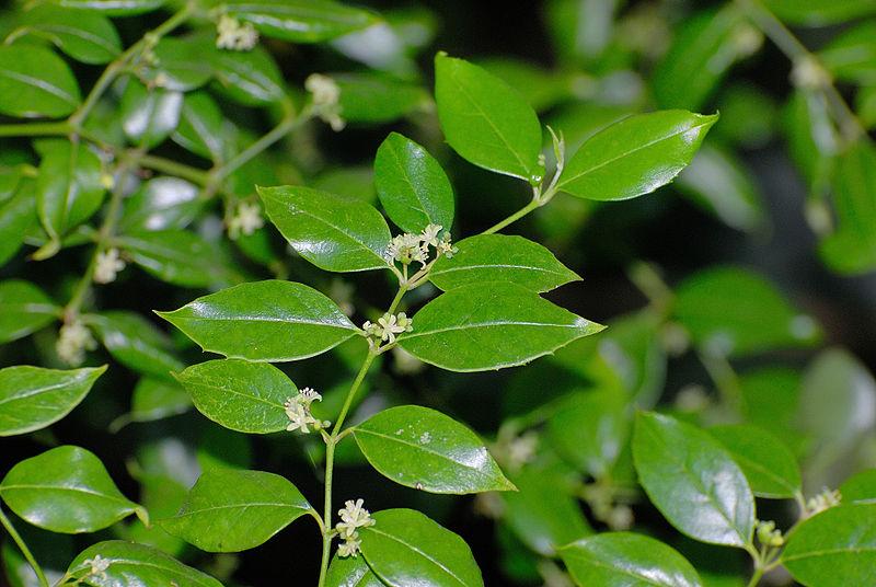 800px-Cassinopsis_ilicifolia flowers - CC BY SA 3