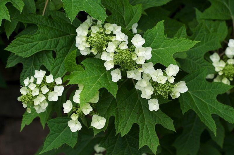 800px-Hydrangea_quercifolia - CC BY SA 3