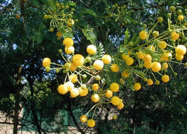 Acacia Karroo 2
