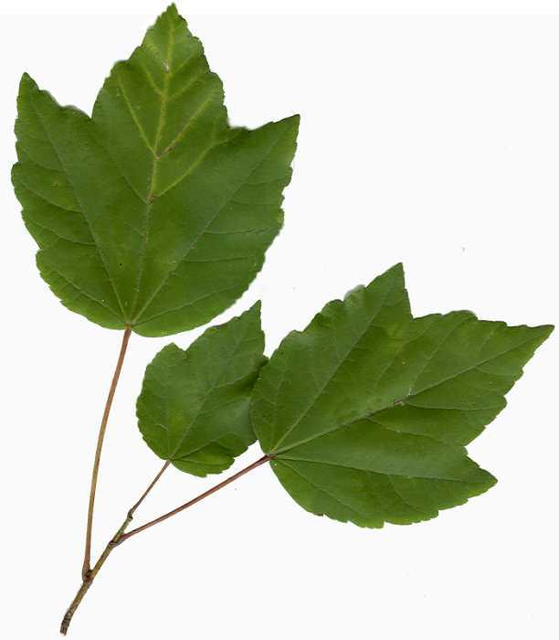 Acer_rubrum leaf