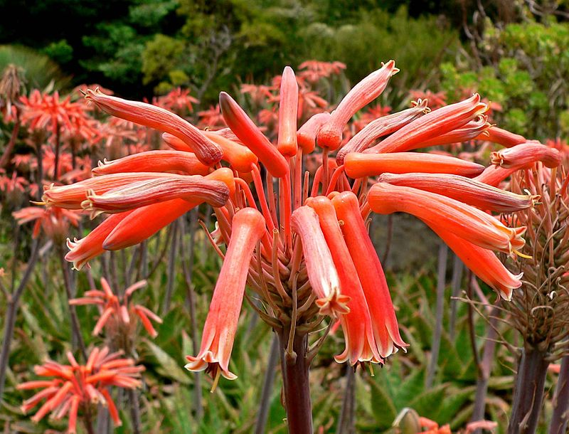 Aloe Maculata 1 CC 3