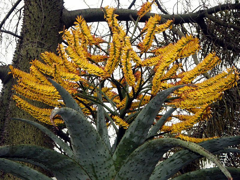 Aloe Marlothi 1 CC 2