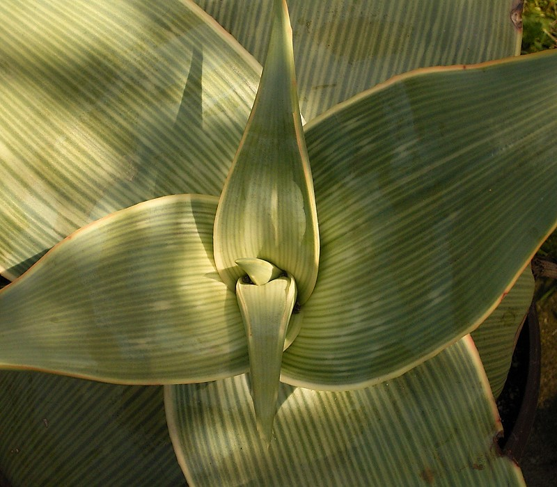 Aloe Striata 1 CC 3