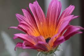 Arctotis Little Pink 1