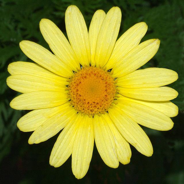 Argyranthemum 1 CC 2.5