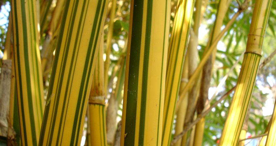 Bambusa Alphonse Karr 1