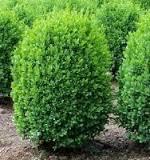 Buxus sempervirvens nana 1