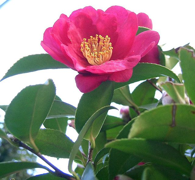 Camellia Sasanqua CC 3