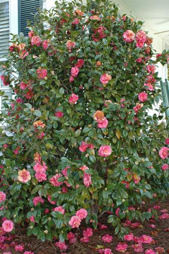 Camellia sasanqua kazimingi nursery for Camellia sasanqua