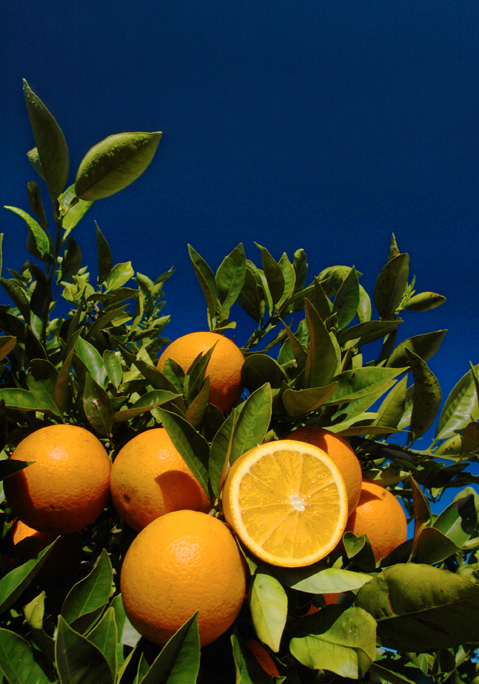 Orange grove, oranges, citrus, leaves, sky. UF/IFAS Photo: Josh Wickham.