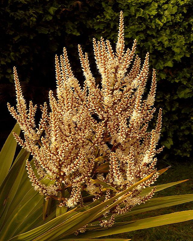 Cordyline Australis flowering spike CC 2