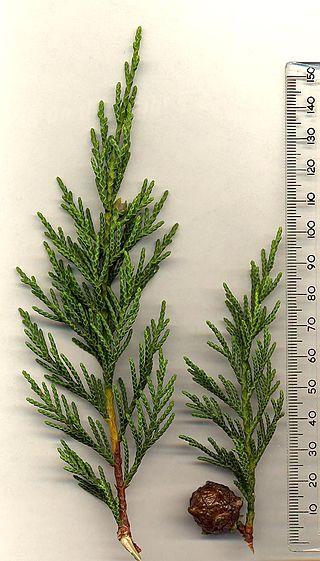 Cupressus Leylandi Cone & Leaf CC 3