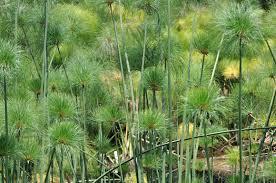 Cyperus papyrus nana 1
