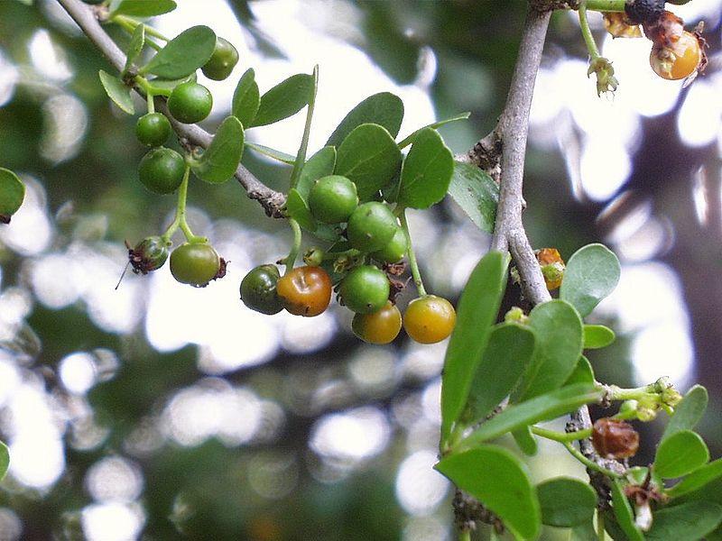 Ehretia Rigida Fruit Public