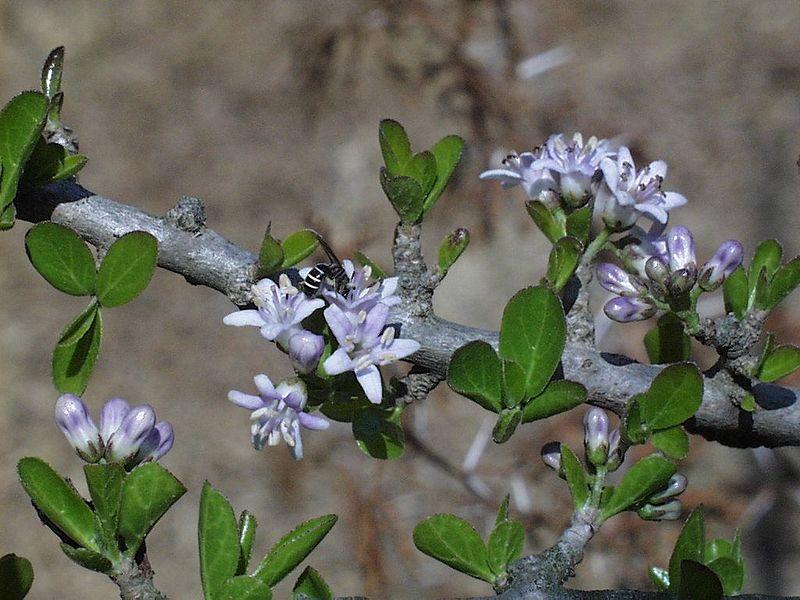 Ehretia Rigida flowers Public