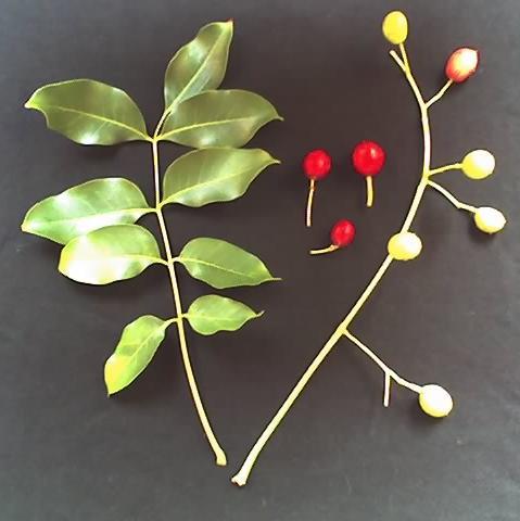 Ekebergia Capenses Leaves & Fruit cc 3