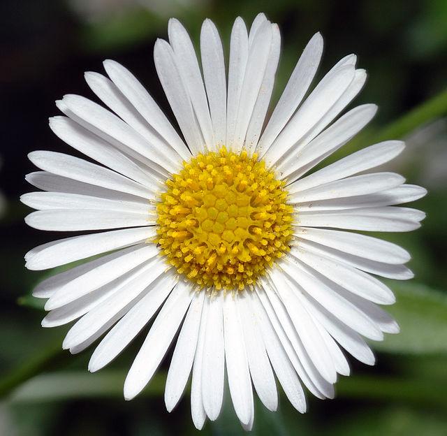 Erigeron Karvinskianus Flower CC 2.5