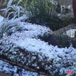 Frozen Escallonia gold hedge