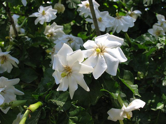 Gardenia thunbergia 1