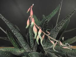 Gasteria acinacifolia 1