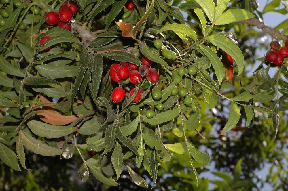 Harpephyllum Caffrum 1