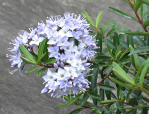 Hebe diosmifolia 1