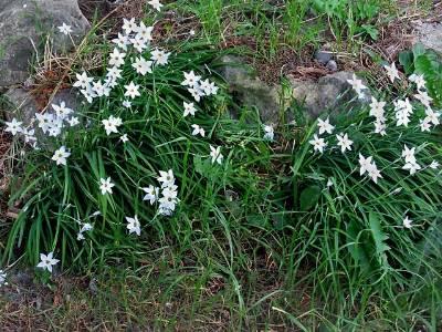 Ipheion Uniflora Spring Star Kazimingi Nursery