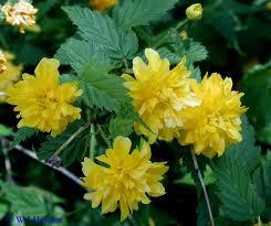 Kerria japonica 1