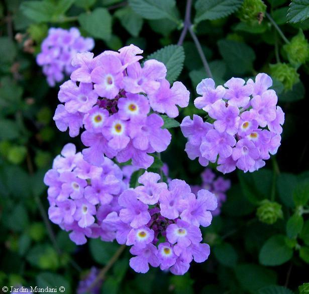 Lantana montevidensis purple 1