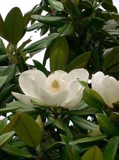 Magnolia Grandiflora 1