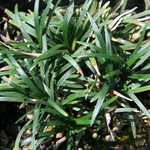 Ophiopogon japonicus kyoto dwarf