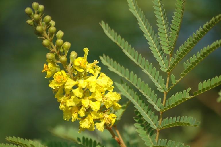 Peltophorum africanum 1