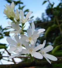 Petrea volubilis Alba 1