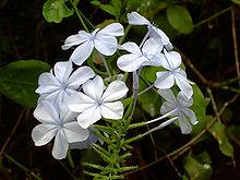 Plumbago Auriculata White 1