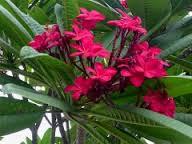 Plumeria acutifolia various 2