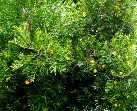 Podocarpus falcatus 1