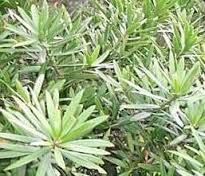 Podocarpus latifolius 1