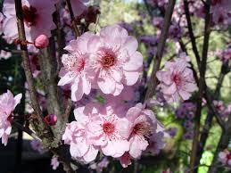 Prunus blireana 1