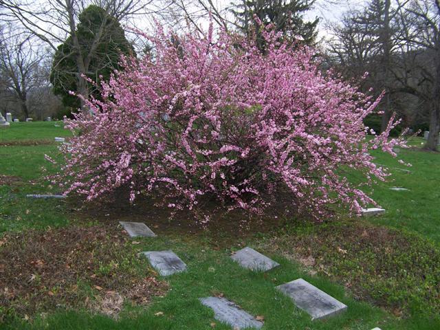 Prunus Glandulosa Rosea Kazimingi Nursery