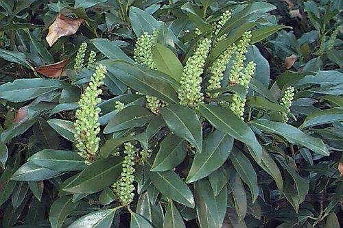 Prunus laurocerasus 2