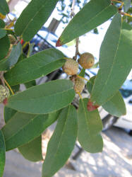 Quercus incana 1