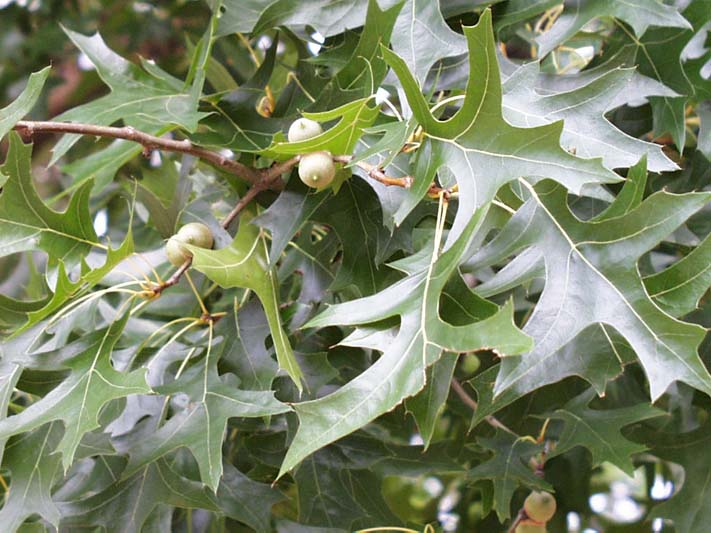 Quercus palustris 1