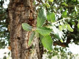 Quercus suber 2
