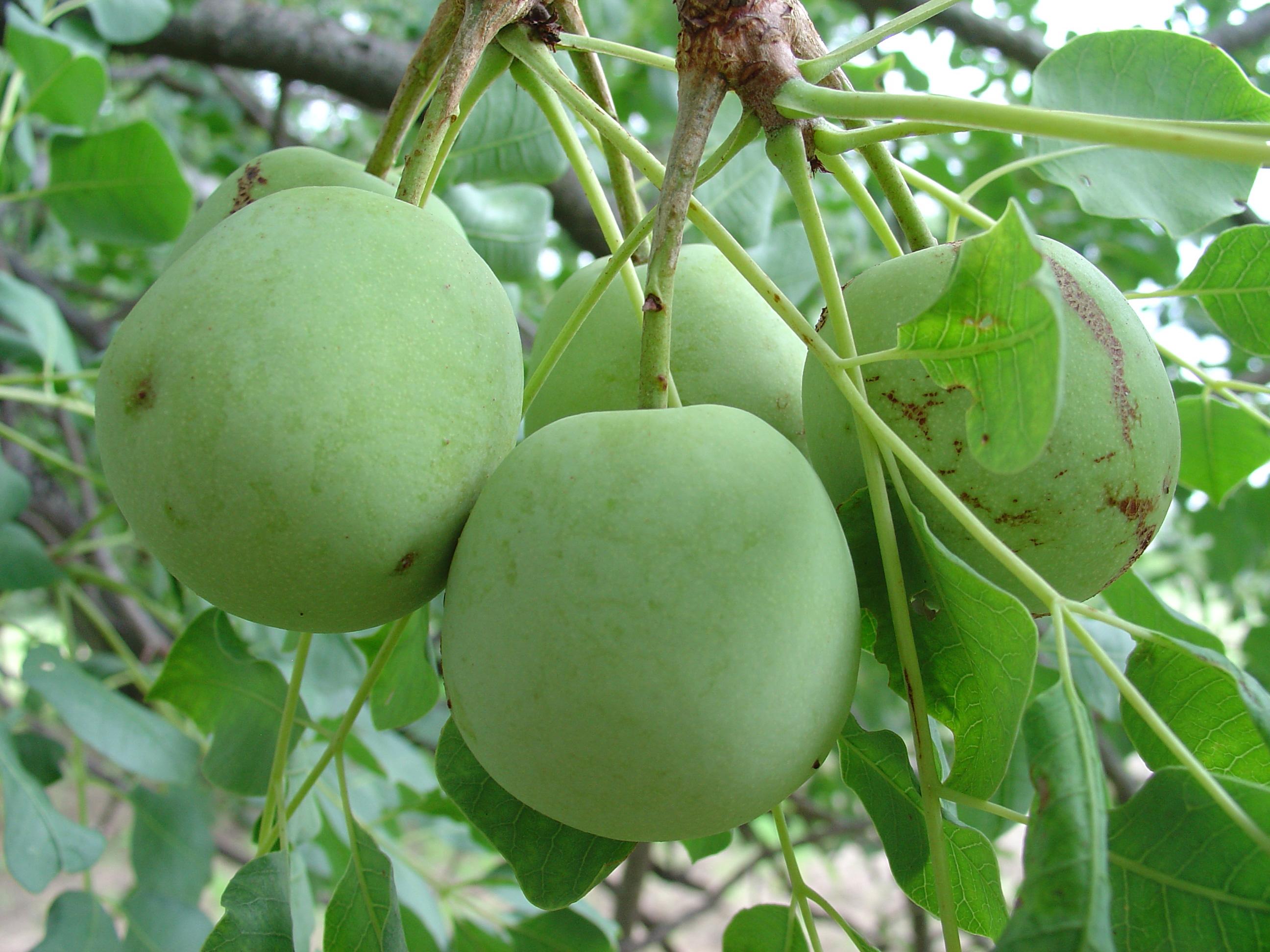 Sclerocarya birrea maroela 1