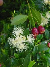 Syzygium paniculatum 1