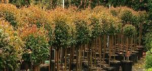 Syzygium paniculatum 2