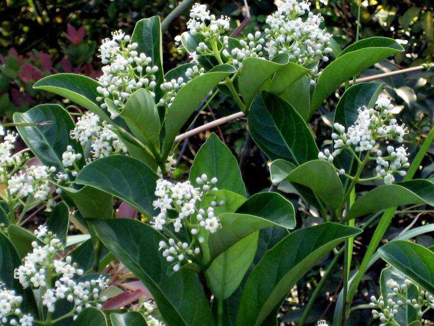 Viburnum odor sinensis