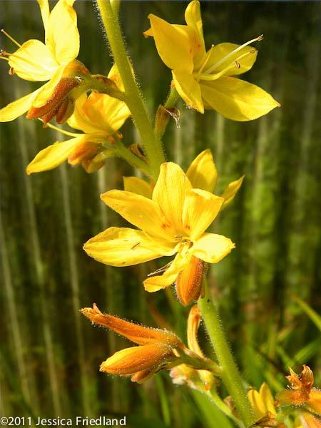 Wachendorfia thyrsiflora 1