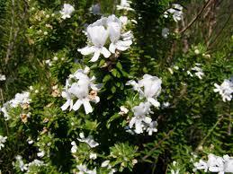 Westringea white.jpg 1